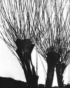 salzes II, 2015_charcoal on paper_33x41